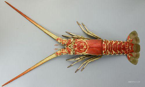 ハコエビの生物写真