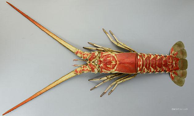 ハコエビの形態写真