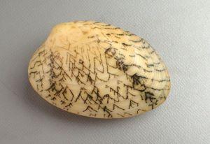 リュウキュウアサリのサムネイル写真