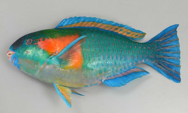 SL27cm前後になる。目の後ろから胸鰭の後ろにかけてオレンジ色の大きな斑紋がある。背鰭にオレンジ色の縦縞があるが2本と、1本の個体がいる。