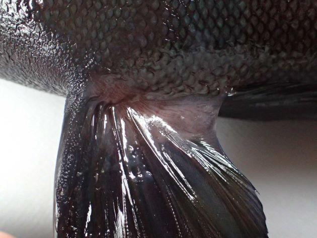 腹鰭に鰭膜がある。