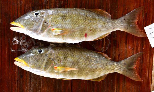 SL 55cm前後になる。フエフキダイ科ではやや細長い。胸鰭裏(脇の下)に鱗がなく、胸鰭のつけ根に赤い斑紋があり、裏側にはもっと大きな赤い斑紋がある。上唇が黄色い。市場では黄色い唇と胸鰭の赤い点が目立つ。[沖縄県与那城漁協]