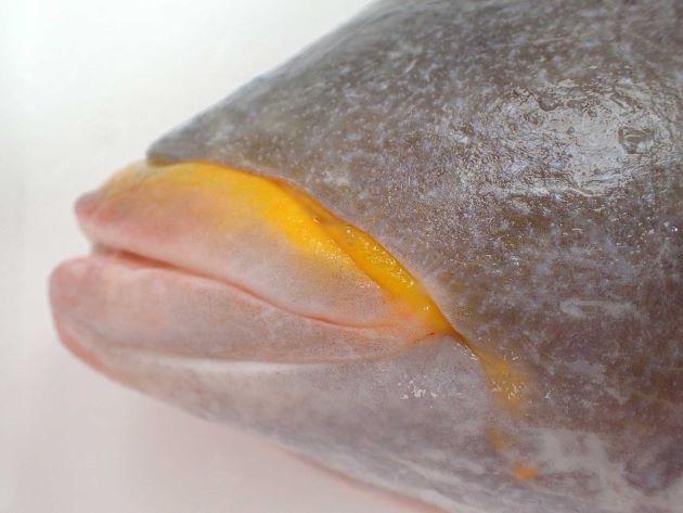 英名、「Yellowlip emperor」、も学名「xanthochilus」も上唇が黄色いため。