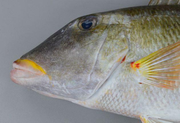SL 55cm前後になる。フエフキダイ科では体高が低く、やや細長く目と吻の間が長く、目は背面頭部に近いところにある。目の上から吻にかけては直線的。胸鰭裏(脇の下)に鱗がなく、胸鰭のつけ根上部に赤い斑紋があり、裏側にはもっと大きな赤い斑紋がある。上唇が黄色い。