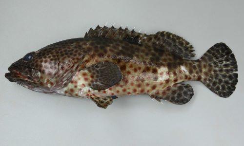 SL 60cm (体長)前後になる。背鰭棘11、尻鰭軟条8、尾鰭は丸い。丸い斑紋が鰭にもあり、目の前で吻が隆起する。