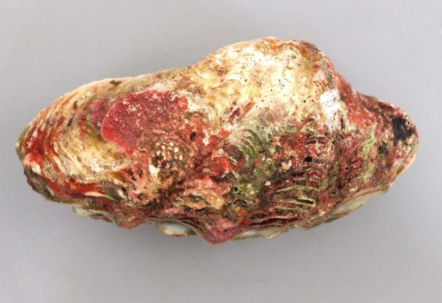 トガリシラナミの形態写真