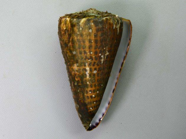 アンボンクロザメの形態写真