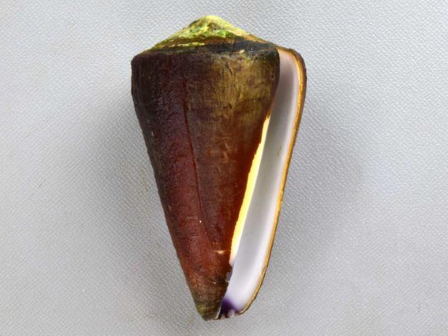 オトメイモの形態写真