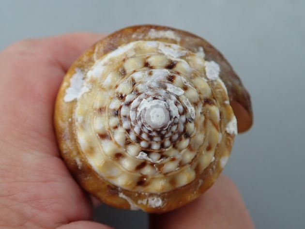 90mm SL 前後になる。体層に1〜3の白色螺帯がある。殻底は紫褐色。肩部の結節が疣状。