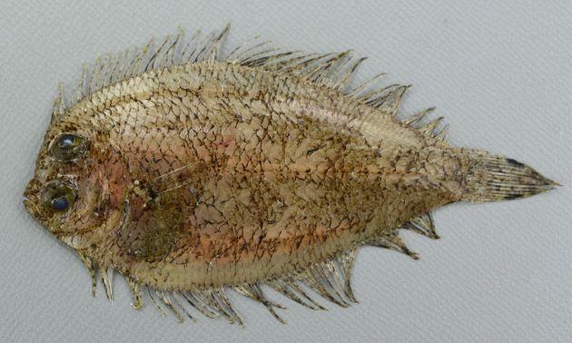 チカメダルマガレイの形態写真