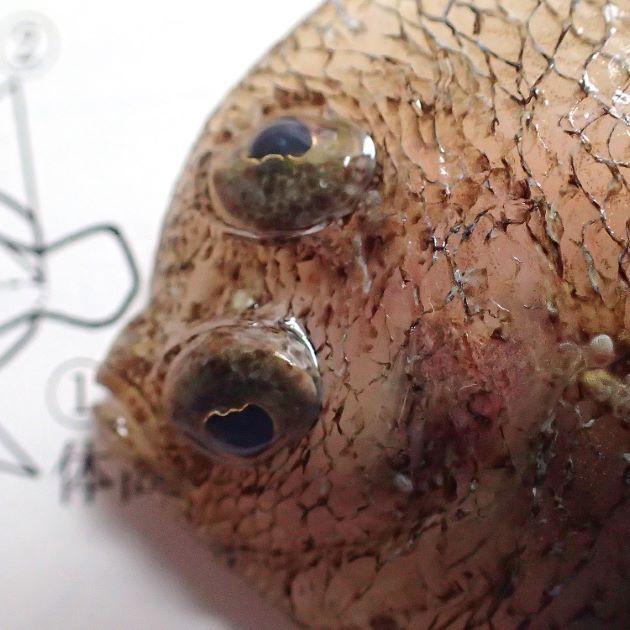 SL12cm前後になる。尾鰭の両側にマルヰ斑紋がある。無眼部(裏)には黒い部分がない。目と目はあまり離れていない。