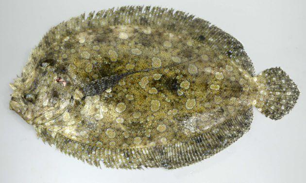 モンダルマガレイの形態写真