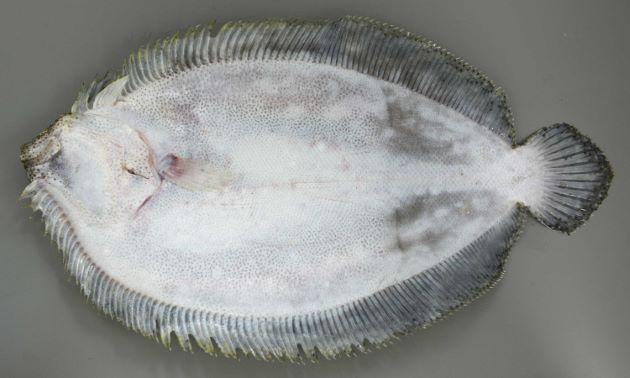 SL 40cm前後でダルマガレイでは最大級。胸鰭が長く目と目の間は離れている。有眼部に細かく丸い斑紋と輪紋が散らばる。胸鰭が非常に長い。