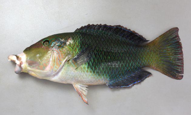 SL 80cm前後。国内には30cm前後が多い。体は前半が明るく後半が黒いが、幼魚期はこのツートーンがくっきり分かれているが、成長に従って不明瞭になる。唇が分厚く伸びる。