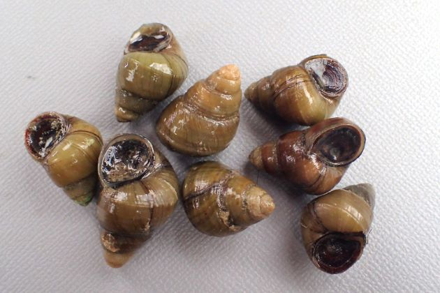 チュウシヒメタニシの形態写真