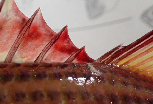 背鰭棘の最後は最後から2番目よりも長く第2背鰭に所属する。