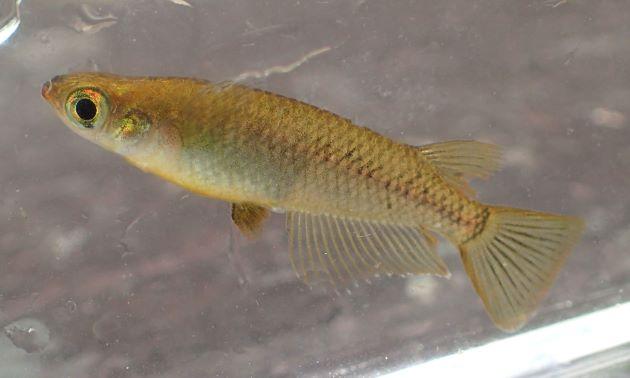 3.3cm SL 前後になる。体側後半の黒色素胞は濃い網目模様。雄の背鰭の欠刻は浅い。触ると鱗が硬く感じる。