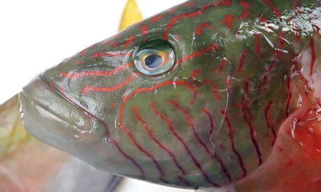 目の後方の縦筋は鰓蓋後部まで達しない。