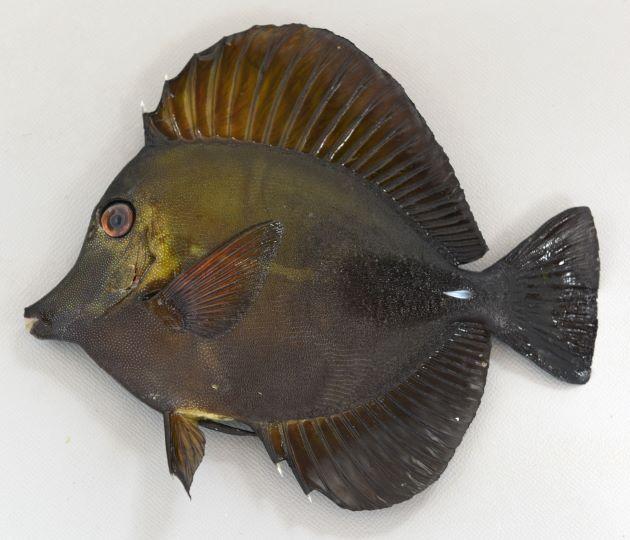 SL 15cm前後になる。体高があり吻がとがる。背鰭・尻鰭が長い。体表にごま粒状のイボがあり、体側後半のところに毛がふさふさした部分がある。体色は暗色か褐色。