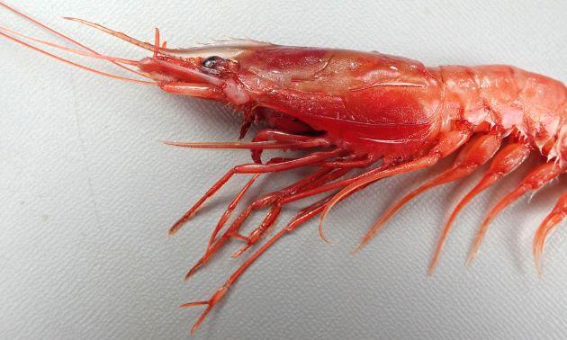 20cm近くになる。生の状態で赤が強い。頭部が大きく額角が長い。