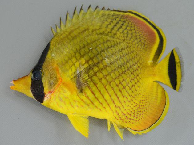 アミチョウチョウウオ | 魚類 | ...
