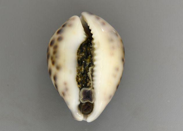 SL 110mm前後になる。貝殻は丸みを帯び、陶器を思わせる。