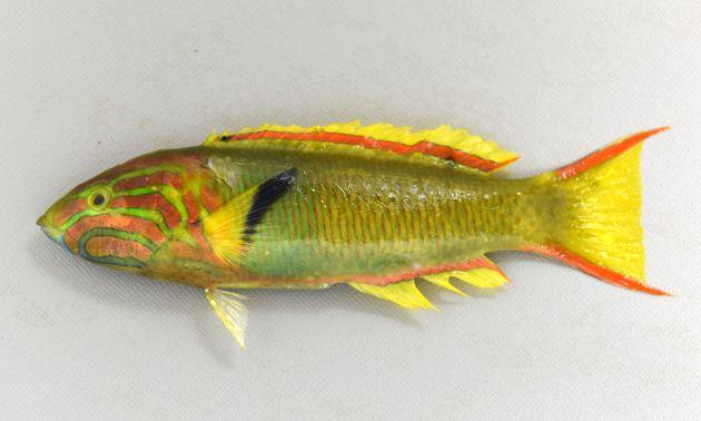 ヤマブキベラの形態写真