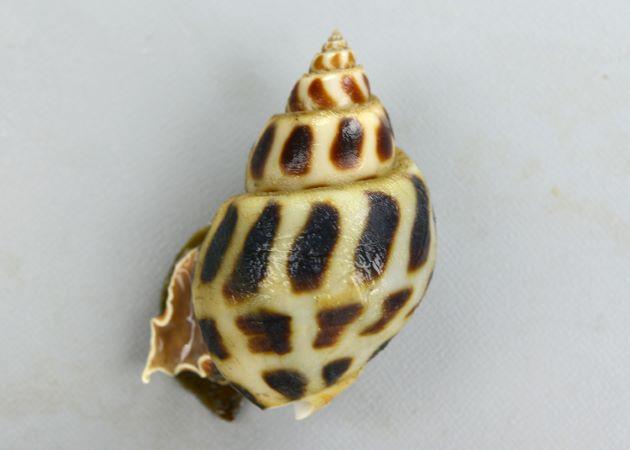 殻高50mm前後になる。貝殻は白く陶磁器のような透明感が感じられる。斑紋は黒褐色。
