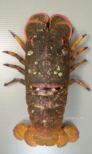 セミエビの生物写真
