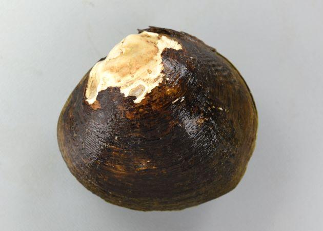 ヤエヤマヒルギシジミの形態写真