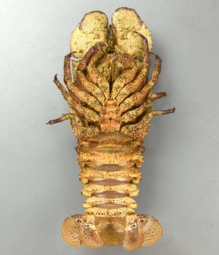 全長30cmを超える。殻が非常に硬く、寸胴で表面が非常にざらざらしている。背面にいくつかの隆起(山になっているところ)があり、左右二分する。