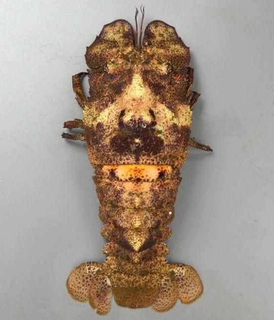 コブセミエビの形態写真