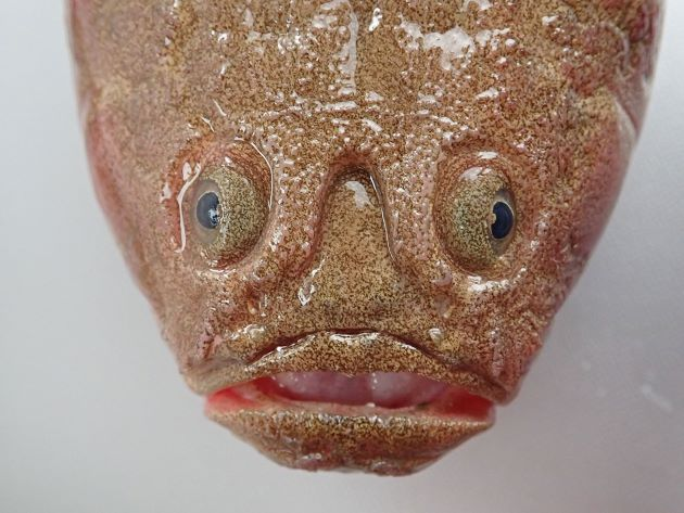 SL 25cm前後になる。背鰭は2基。頭部の上部後端(擬鎖骨棘)に強い棘がある。体に虫食い状の斑紋がなく、上部から斜め後方に走る筋模様がある。両眼の間のくぼみは両眼の後端に達しない。