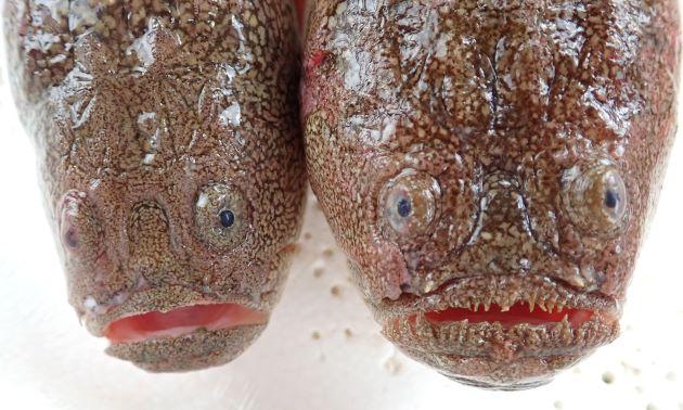 頭部は左右に大きく、両眼の間も広い。両眼の間のくぼみは、両眼後縁に達する。唇周辺に小さな皮弁がある。[写真左はミシマオコゼで皮弁がない、右はキビレミシマで皮弁がある]