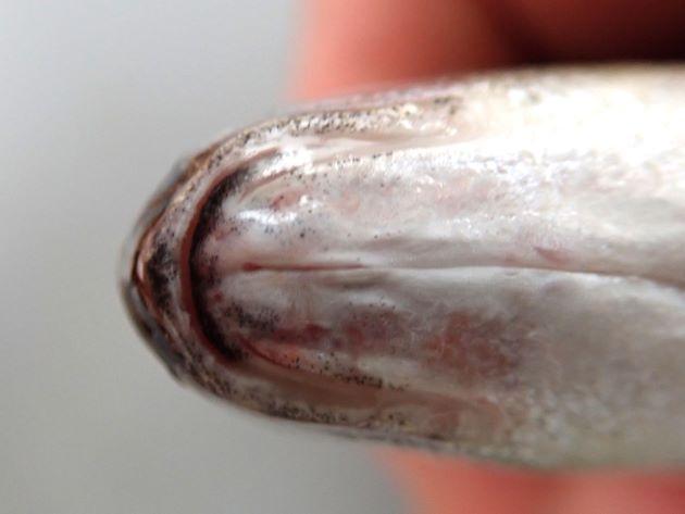 下顎正中線上に小さな円形に近い溝がある(くぼみに見える)。