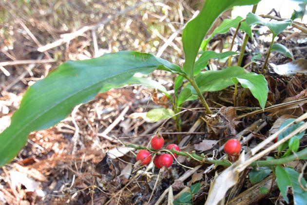 長さ30-60cm。葉は笹の葉のようで中央部分がやや広く先端がとがる。偽茎が地上から立ち上がり赤色の筋のある花を咲かせる。実は赤い。