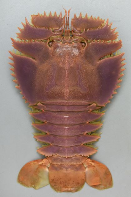 ウチワエビの形態写真