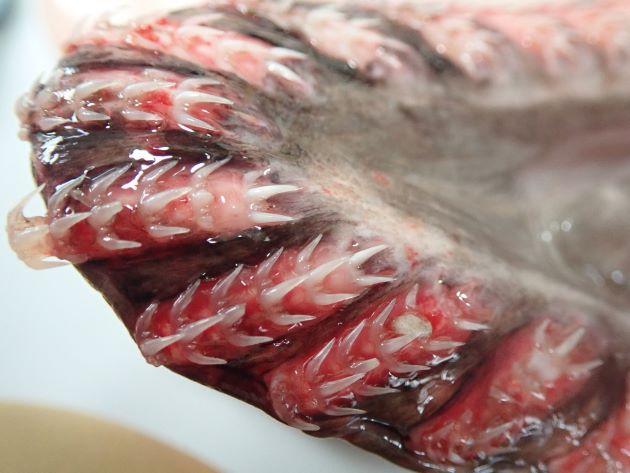 TL 2m前後になる。背鰭は1基、口は前端にあり前方に開く。鰓孔6対では体の下部正中線上まで開く。歯は3本の先の尖った碇状で縦に並ぶ。