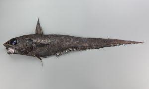 イバラヒゲのサムネイル写真