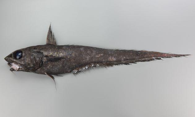 イバラヒゲの形態写真