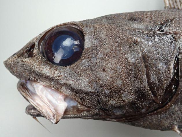 TL 75cm前後になる。全身の黒みが強く、頭部は小さく吻は尖らず、口と目が大きい。鰓条骨は6、第2背鰭起部は尻鰭起部よりも前。