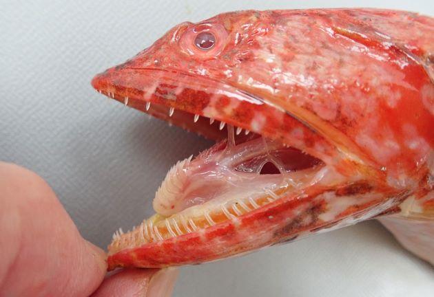 歯は非常に鋭利で危険。