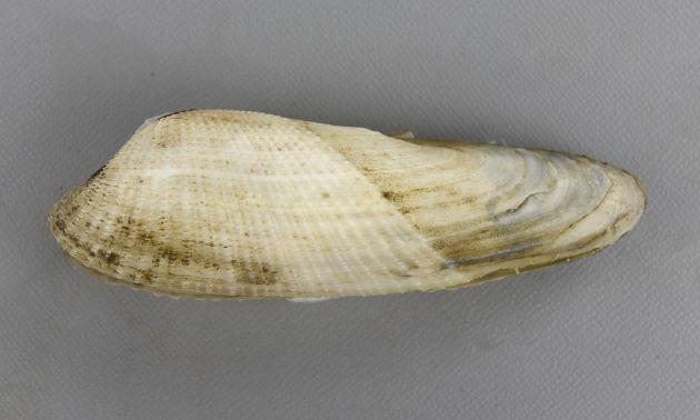 ペガサスノツバサの形態写真