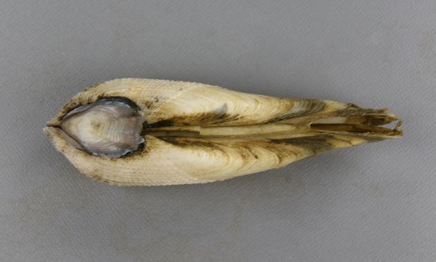 SL 12cm 前後になる。殻頂は前方に寄る。前背縁は湾入する。成長脈と放射肋接点が顆粒状になっている部分と平滑な部分との境目がはっきりしている。