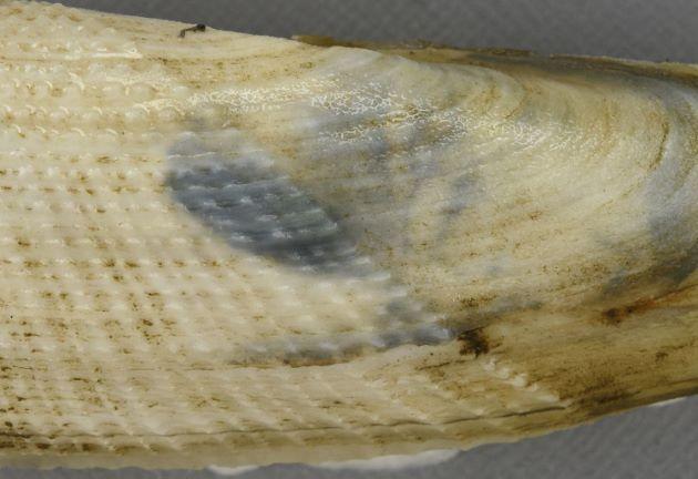 成長脈と放射肋接点が顆粒状になっている部分と平滑な部分との境目がはっきりしている。