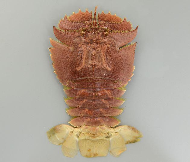 オオバウチワエビの形態写真