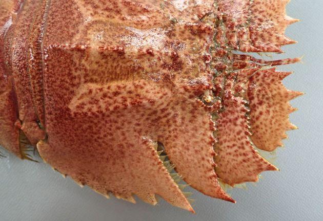 全長20cm前後になる。とても平たく、周辺の鋸上の棘はウチワエビよりも少なく、切れ込みが深い。