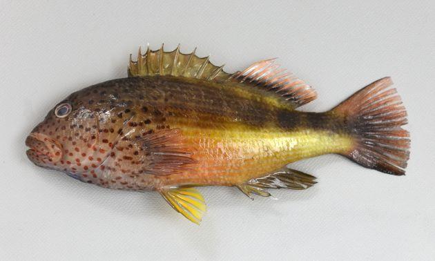 ホシゴンベの形態写真