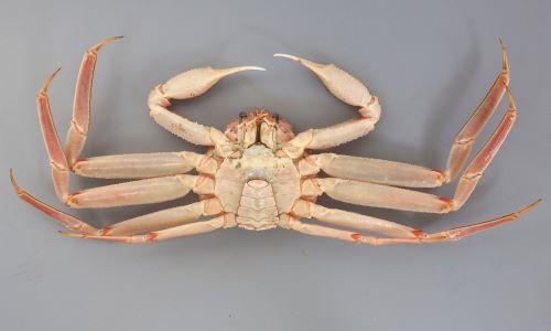 雄 甲長12cm・甲幅10cm前後になる。甲が小さく極端に脚が長い。丸みを帯びた正三角形。口の上部には4歯があり直線上に並ぶ。