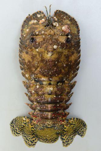 ミナミゾウリエビの生物写真